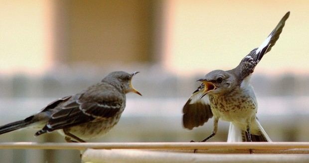 mocking birds quarrelling.jpg