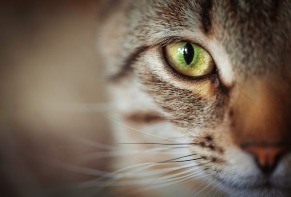 Closeup of cat face. Fauna background