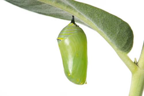monarch cocoon