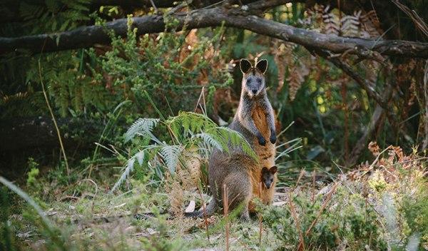 Swamp Wallaby (Wallabia bicolor), Murramarang National Park
