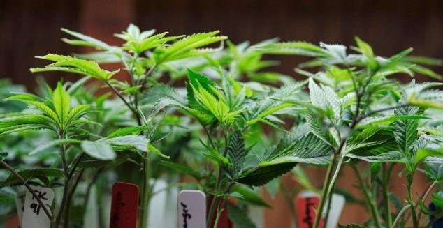 cannabis plant (2)