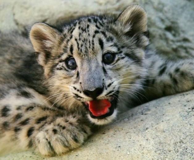 leopard cub (2)
